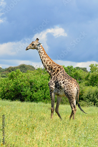 giraffe in Chobe national park in Botswana