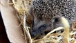 Igel (Hedgehog)