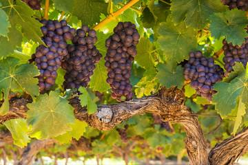 Südafrika, Weinroute, reife Trauben