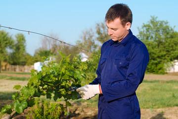 Male farmer tying grape