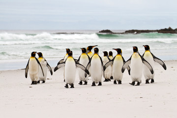 King penguins walking on the beach