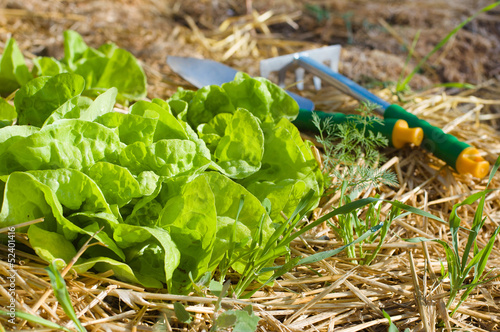 Salad growing in mulch