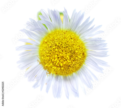 Single camomiles isolated on a white background
