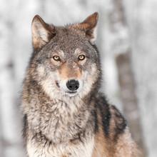 Grauer Wolf (Canis lupus) mit einem Ohr Zurück