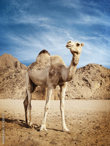 Foto op Plexiglas Kameel Camel