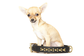 Young chihuahua and big black collar