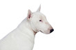 Beautiful bullterrier