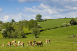 Healthy cattle livestock, Idyllic Rural, UK. poster