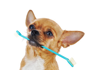 Red chihuahua dog with toothbrush isolated on white background.