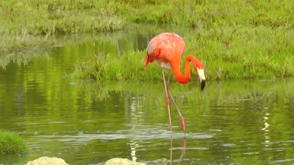 Flamingo on Bonaire.