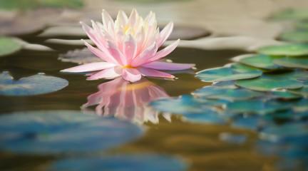 ninfea fiore acquatico 9313