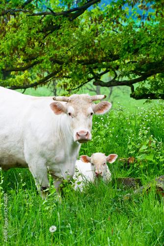 Fototapeten,kühe,kalb,wiese,natur