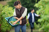 Winegrowers in the vineyard