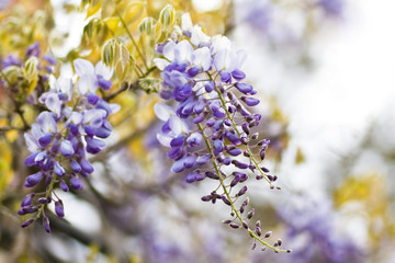Chinese Wisteria or Wisteria sinensis in spring