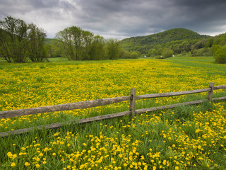 Field of dandelion in spring time Vermont, USA