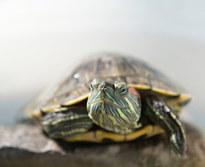 closeup portrait of a tortoise