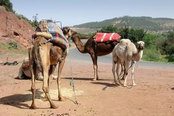 Alcuni cammelli in sosta