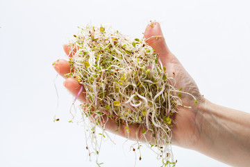 Fresh alfalfa sprouts isolated on white background