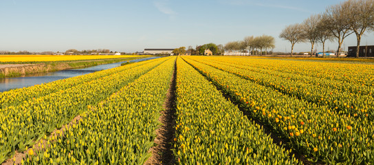 Panorama of rows of blooming tulips in various colors