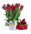 spring tulip flowers in pot with present