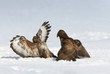 buzzard fight
