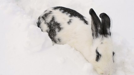 Large rabbit dig in the snow