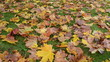 colorful autumn season maple tree leaves fall green lawn grass