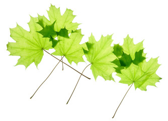 Green maple leaves isolated