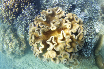 Underwater living coral