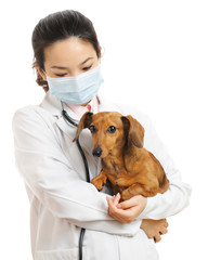 Veterinarian with dachshund dog