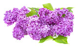 a branch of lilac