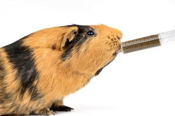 Meerschweinchen wird Notnahrung verabreicht