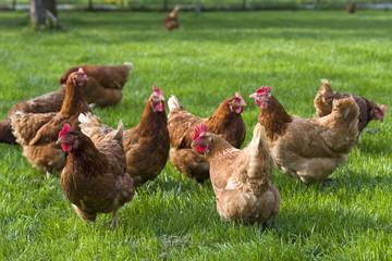 freilaufende Hühner auf Wiese