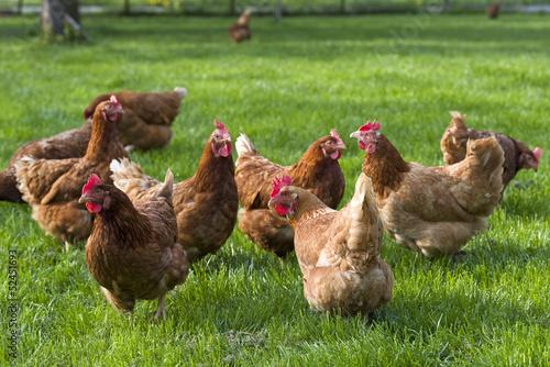 canvas print picture freilaufende Hühner auf Wiese