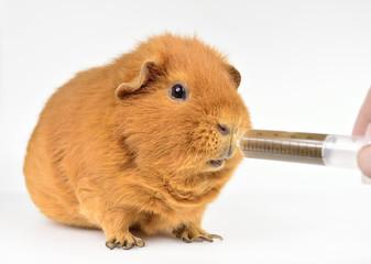 emergency, feeding Guinea pig with pulp