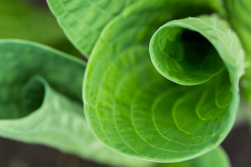 Hosta curl closeup in spring