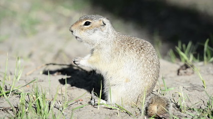 Gopher eating nut