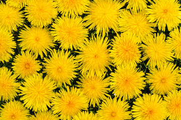 dandelion flowers on the grass