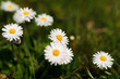 White daisies in a green meadow