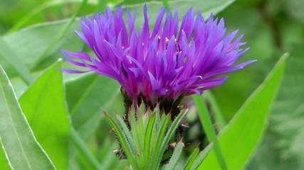 Wild Flowers - Corn Flower