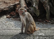 Rhesus macaque in Heidelberg Zoo, Germany
