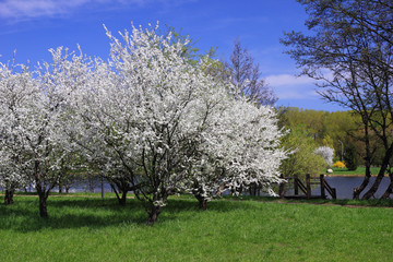 Blossoming trees in spring on river bank.