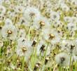 Pusteblumen: Wünsche erfüllen