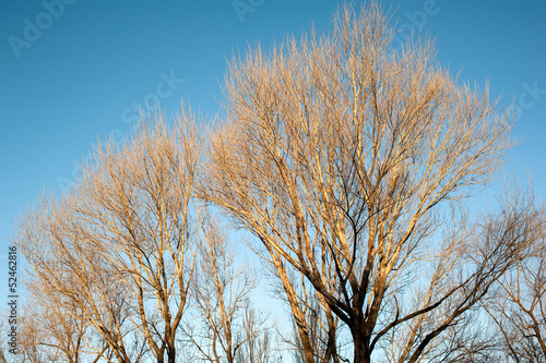 The leafless trees in winter