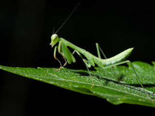 Praying mantis on leafs