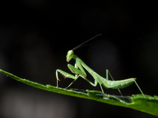 Praying mantis on leaf