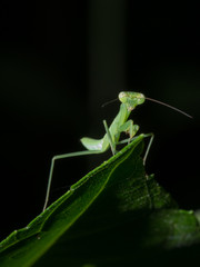 praying mantis front view