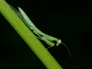 praying mantis side view