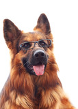 Long-haired german shepherd  in black eyeglasses.
