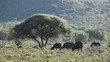 Landscape with an Acacia tree and African buffalos